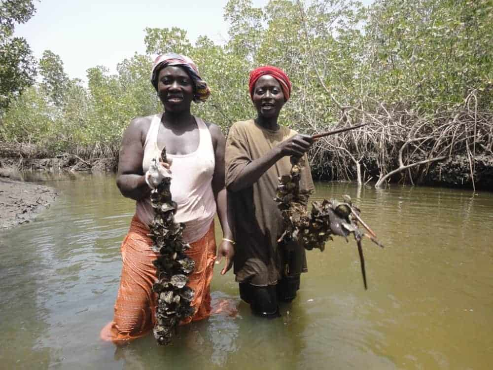 Casamance women fish for oysters in a local river.