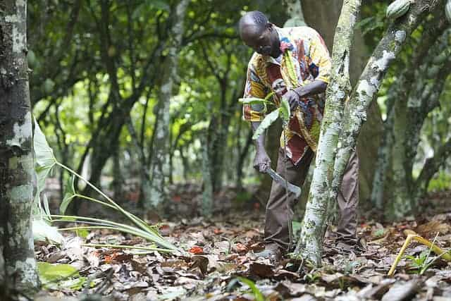 Cocoa farmer in Ivory Coast.
