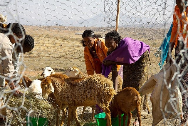 Ethiopian sheep farmers