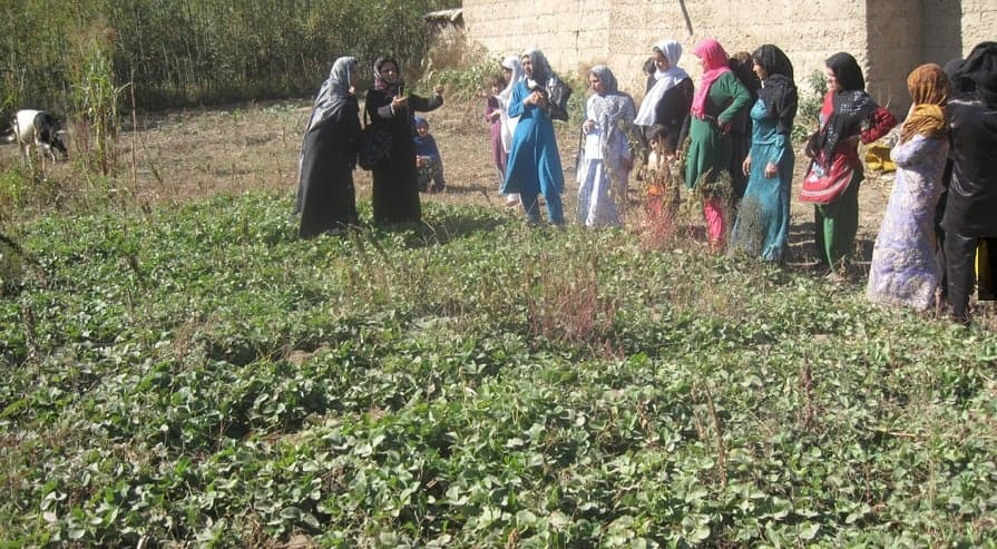 Afghan women learning to plant strawberries, a high-value crop. GRACIANA DEL CASTILLO