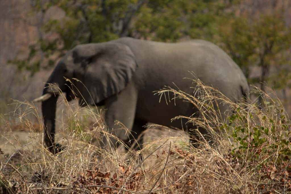An elephant in its natural habitat in the Kariba area of Zimbabwe, August 2014. TRISHULA PATEL